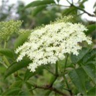 bazga-cvijet