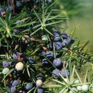 borovica-plod