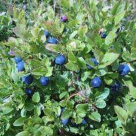 borovnica-list