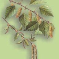 breza-list